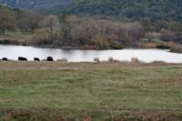 rangeland cattle near pond